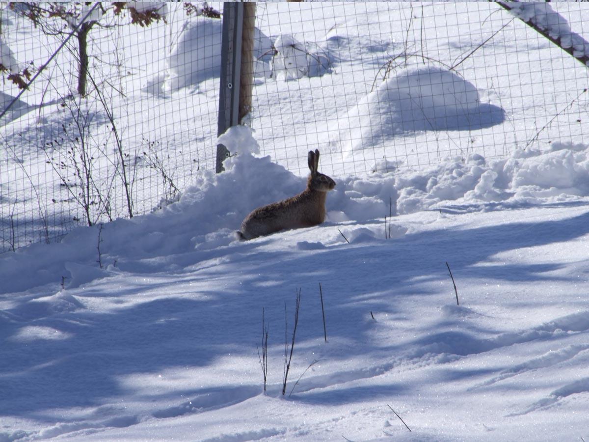 Lepre nella neve